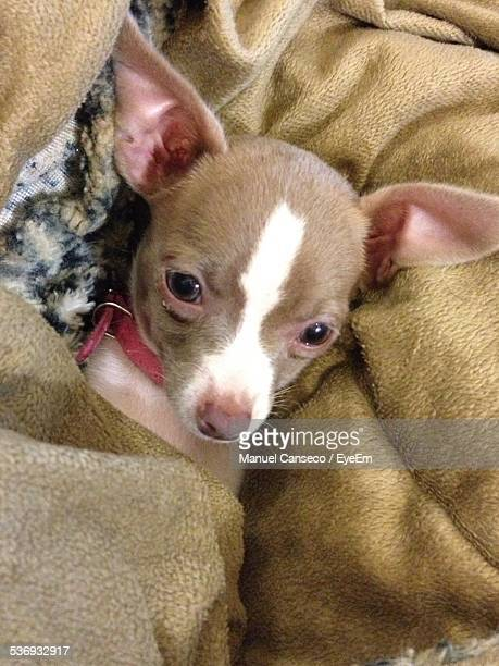 High Angle Portrait Of Chihuahua In Bedsheet