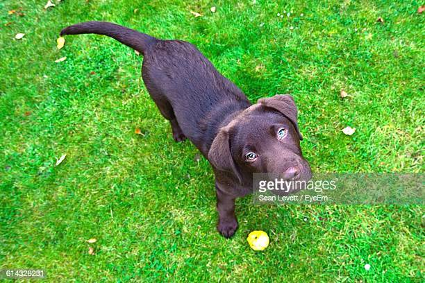 High Angle Portrait Of Chocolate Labrador Puppy With Ball On Grass