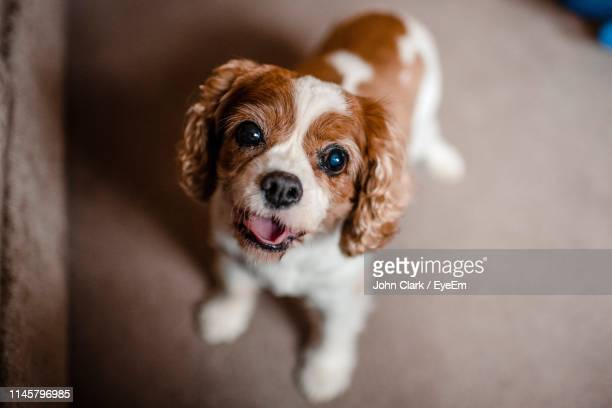 high angle portrait of cute puppy standing at home - cute stock pictures, royalty-free photos & images