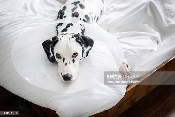 high angle portrait of dalmatian dog relaxing on bed at home - elizabethan collar stock photos and pictures