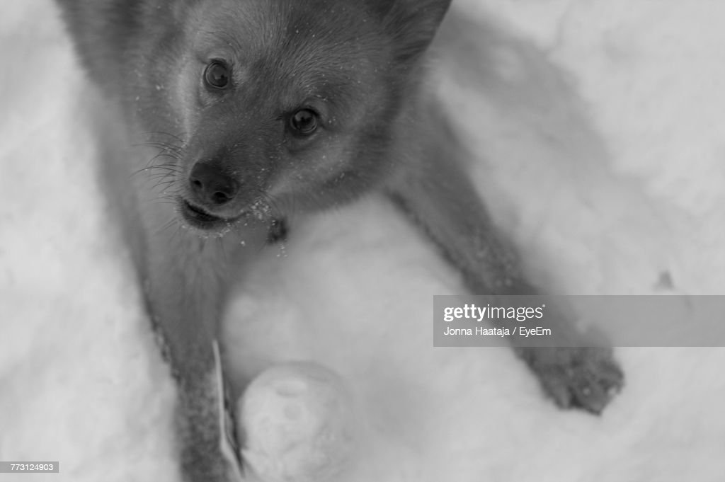 High Angle Portrait Of Dog On Snowy Field : Photo