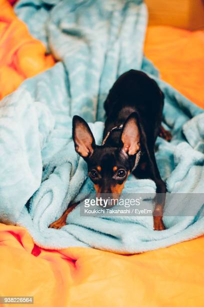 High Angle Portrait Of Dog Relaxing On Bed At Home