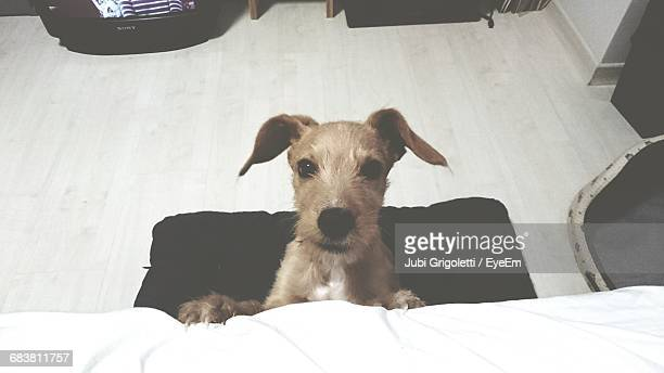 high angle portrait of dog resting at home - carnivora stock photos and pictures