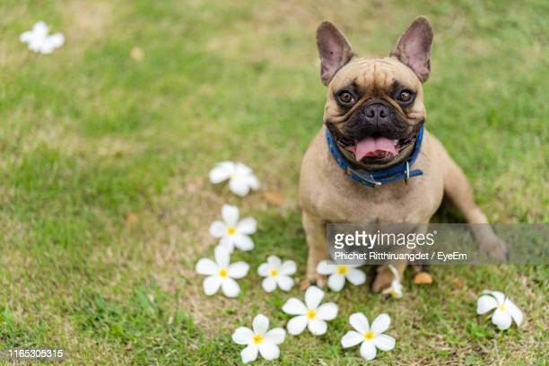 high angle portrait of dog sticking out tongue while sitting with frangipanis on land - phichet ritthiruangdet stock photos and pictures
