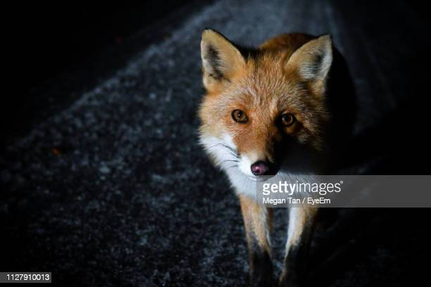 high angle portrait of fox standing outdoors at night - red fox stock pictures, royalty-free photos & images