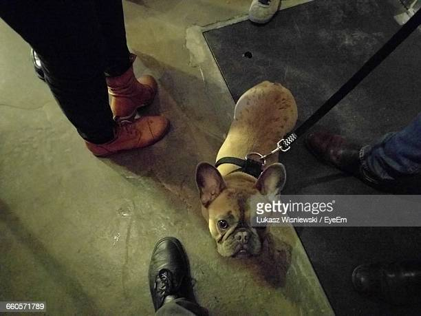 High Angle Portrait Of French Bulldog Amidst Low Section Of People Standing On Floor