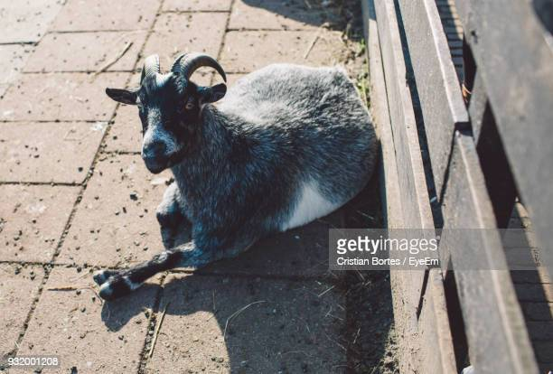 High Angle Portrait Of Goat Resting By Fence