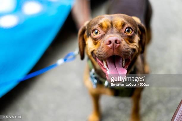 high angle portrait of happy puggle walking outdoors,michigan,united states,usa - パグル犬 ストックフォトと画像