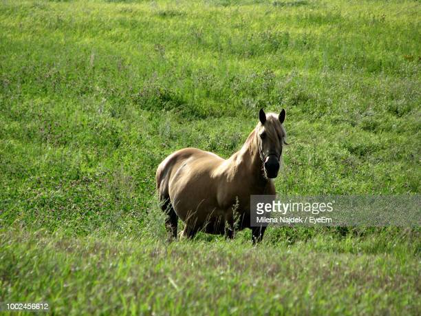 high angle portrait of horse standing on grassy field - herbivorous stock pictures, royalty-free photos & images