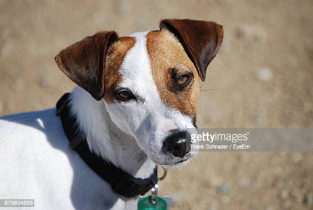 High Angle Portrait Of Jack Russell Terrier On Field