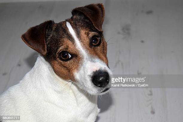 High Angle Portrait Of Jack Russell Terrier On Floor