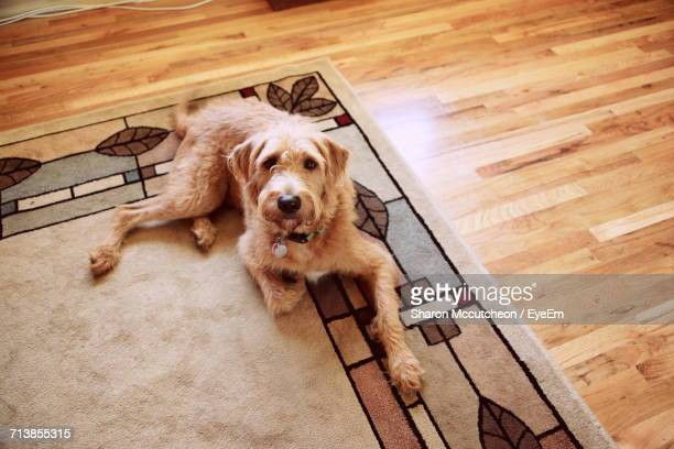 high angle portrait of labradoodle resting on carpet at home - labradoodle stock photos and pictures
