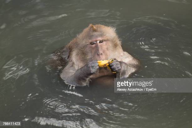 High Angle Portrait Of Monkey Swimming In Lake