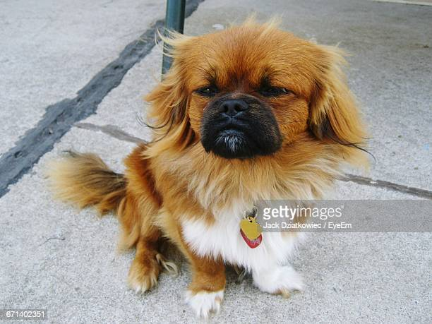High Angle Portrait Of Pekingese Outdoors