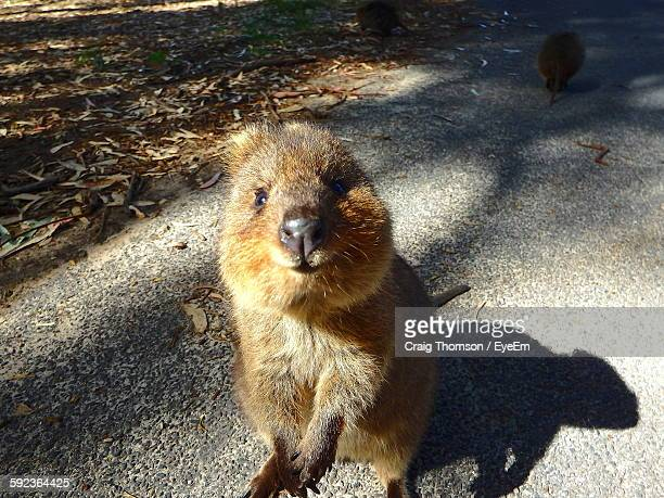 High Angle Portrait Of Quokka Sitting On Street