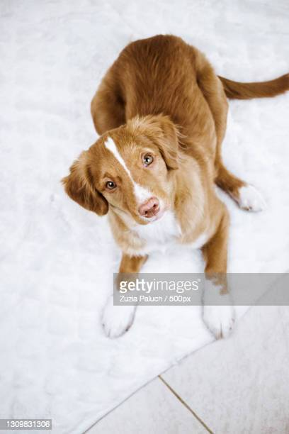 high angle portrait of retriever lying on floor - nova scotia duck tolling retriever stock pictures, royalty-free photos & images