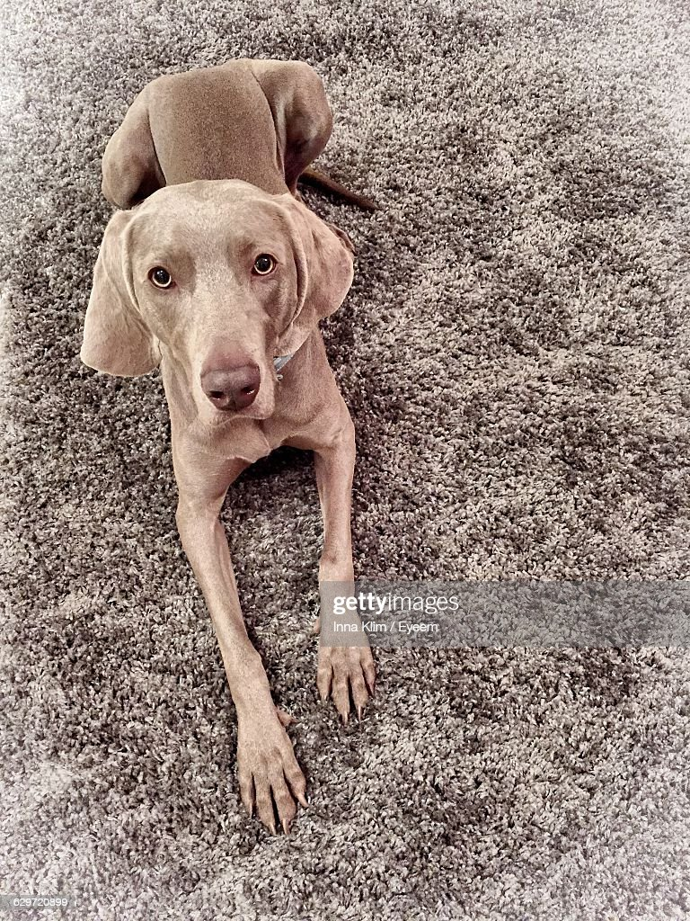 High Angle Portrait Of Vizsla Dog Relaxing On Rug At Home : Stock Photo