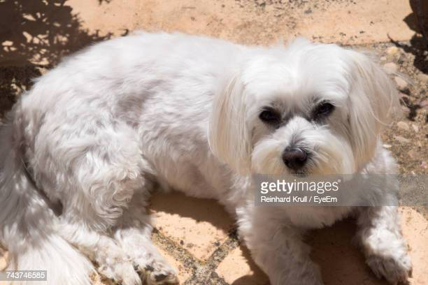 High Angle Portrait Of West Highland White Terrier