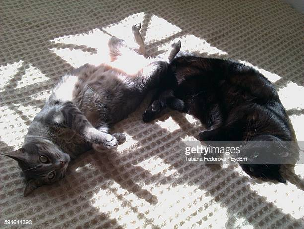 high angle portrait view of cats relaxing at home - gatto nero foto e immagini stock