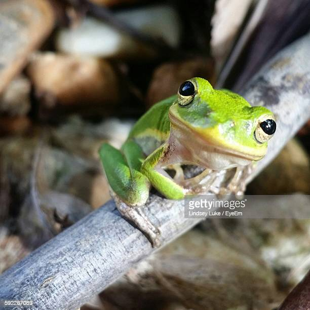 High Angle Portrait View Of Frog On Wood