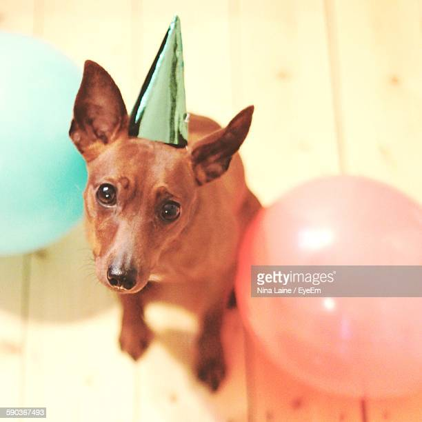 High Angle Portrait View Of Miniature Pinscher With Party Hat