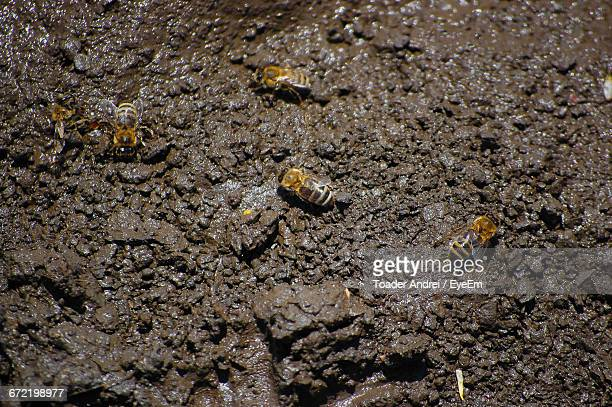 High Angle View Bees Mud
