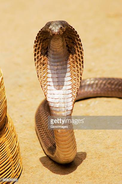 High angle view of a cobra, Pushkar, Rajasthan, India