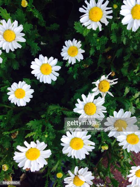 High angle view of a daisies