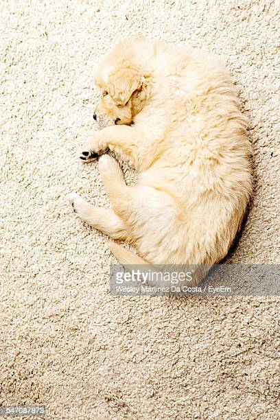 High Angle View Of A Dog Resting On Rug