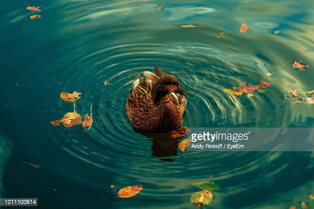 high angle view of a duck in lake - andy rinkoff stock pictures, royalty-free photos & images