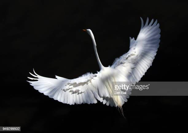 high angle view of a great egret (ardea alba) with wings spread ready for landing on black background - oiseau tropical photos et images de collection