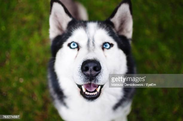high angle view of a husky - husky dog stock pictures, royalty-free photos & images