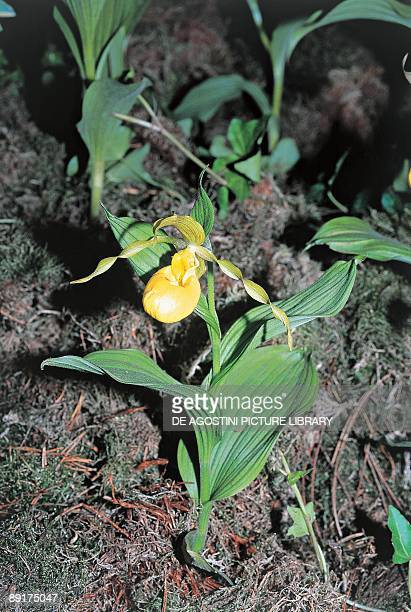 High angle view of a lady's slipper