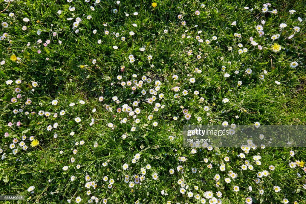 High angle view of a meadow with white daisy flowers : Foto de stock