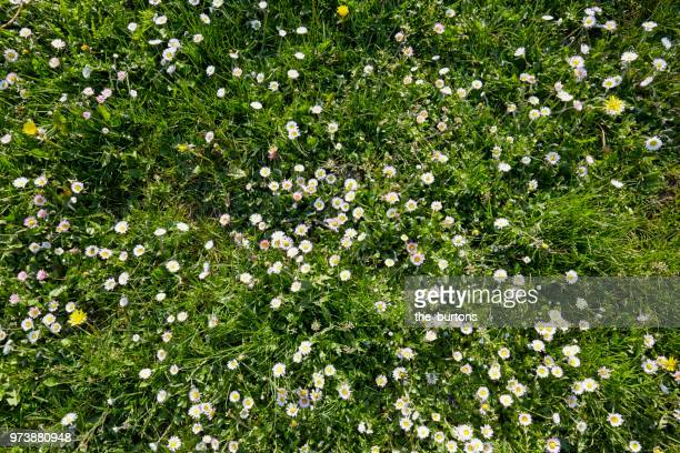 high angle view of a meadow with white daisy flowers - grass stock pictures, royalty-free photos & images