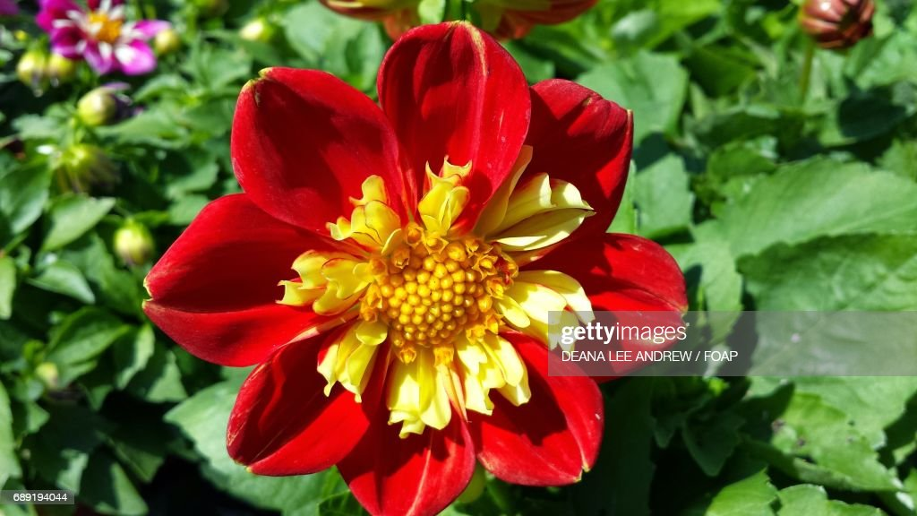 High angle view of a red flower : Stock Photo