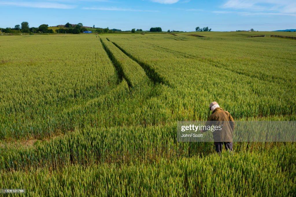 High angle view of a senior man checking a crop : Stock Photo