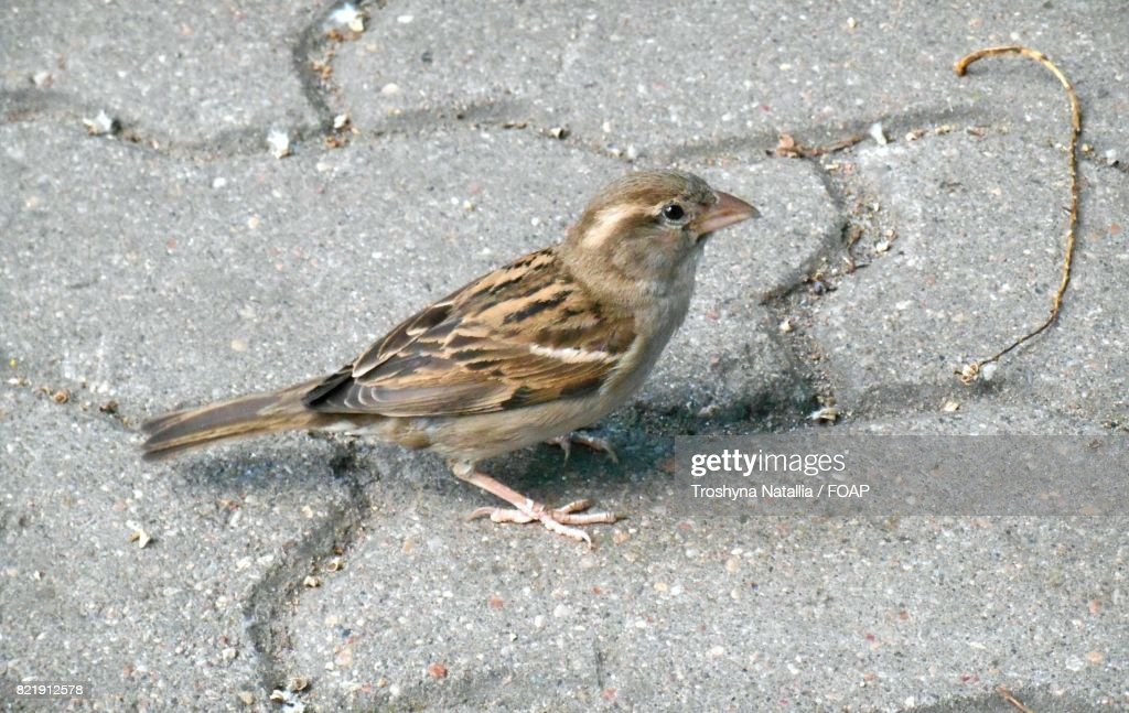High angle view of a sparrow : Stock Photo