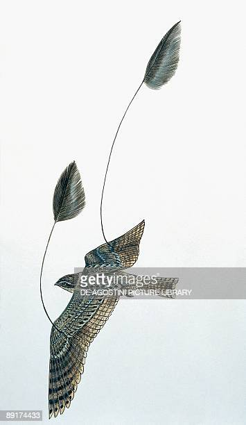 High angle view of a standardwinged nightjar flying