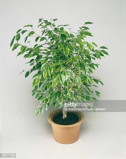 High angle view of a Weeping fig plant