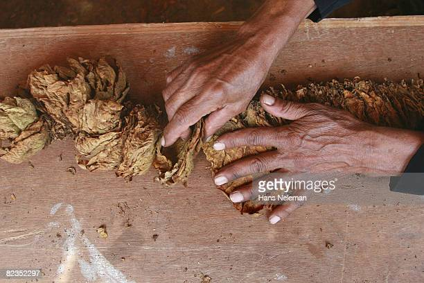 High angle view of a worker's hand holding tobacco leaves, Lebanon