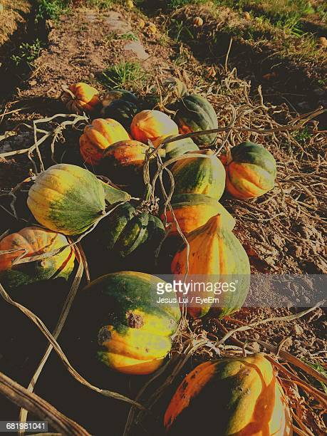 High Angle View Of Acorn Squashes On Field