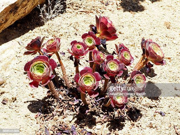 High Angle View Of Aeonium Arboreum Growing Outdoors