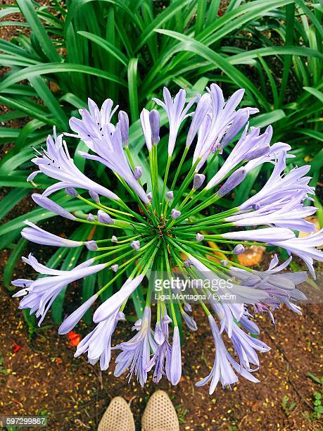 High Angle View Of African Lilies Blooming On Field