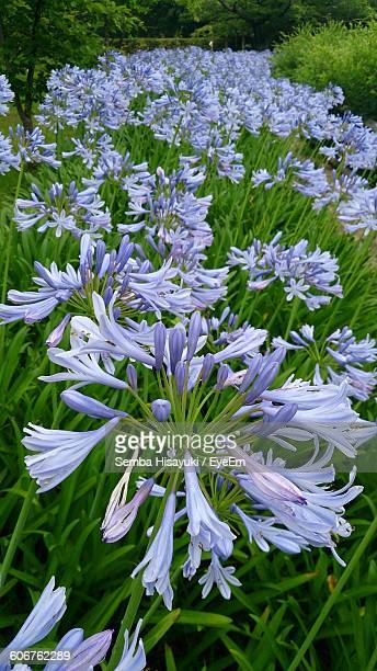 High Angle View Of African Lily