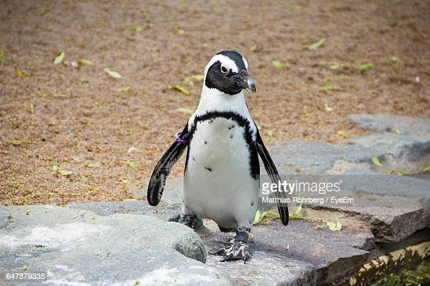 High Angle View Of African Penguin On Rock