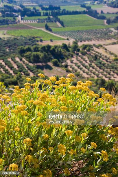 High angle view of agricultural fields below yellow flowers, Les Baux-de-Provence, Provence-Alpes-Cte dAzur, France
