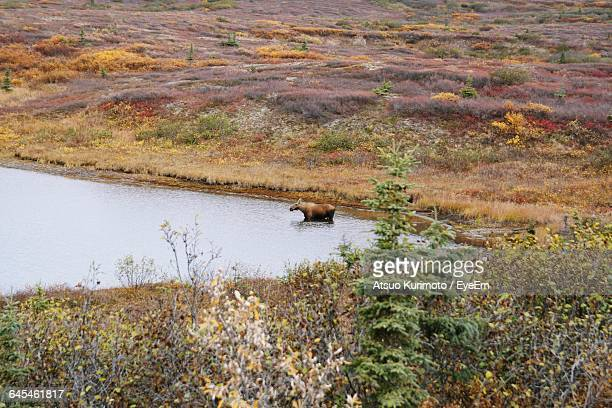 High Angle View Of Alaskan Moose In Lake At Forest