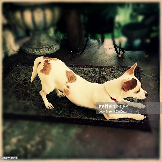 high angle view of alert dog at home - transfer print foto e immagini stock