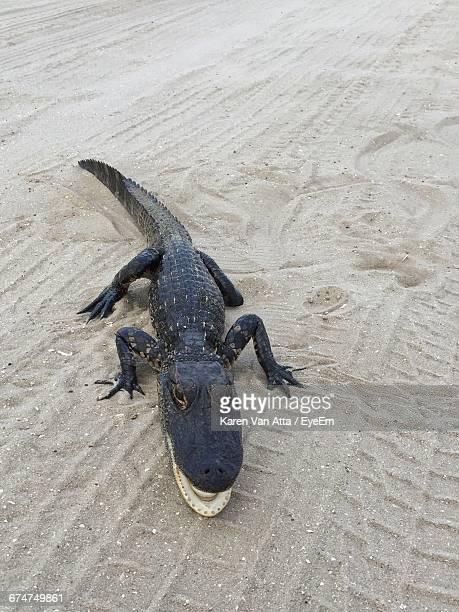 High Angle View Of Alligator On Sand At Beach